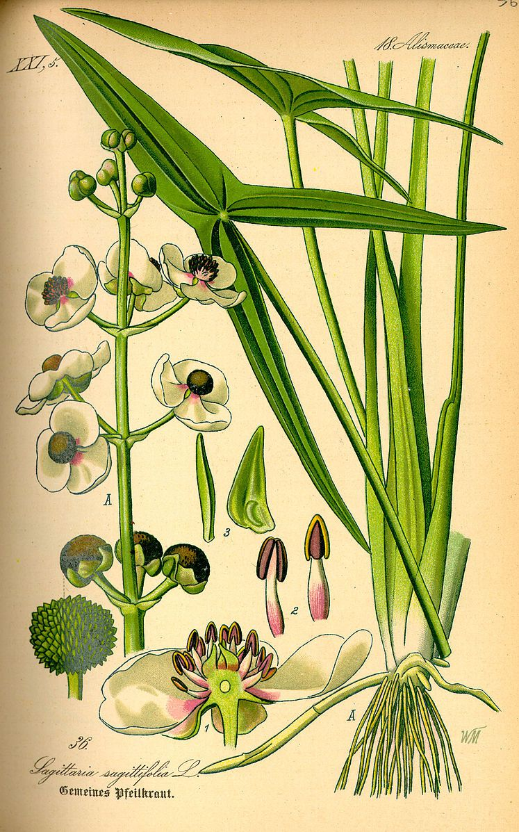 a scientific illustration of the katniss plant